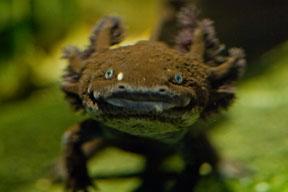 Live & Roar: an Axolotl Odyssey, 23 June, Natural History Museum, Darwin Centre Atrium